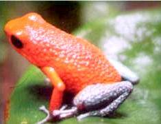 The Frog Pond is an exhibit of over 20 species of frogs and toads endemic to the Monteverde area.