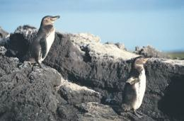 Galapagos Penguins on the lookout for ecotourists