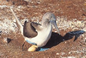 Watch out for Blue-footed Boobie eggs - they are often laying unprotected right on the ground!